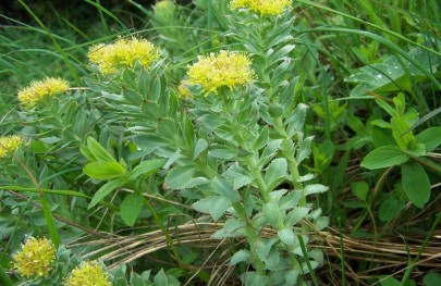 9 Amazing Benefits of Rhodiola + My Results!